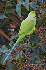 pappagallino indiano nella foresta