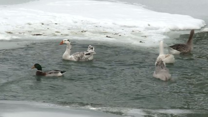 geese and duck in icy frozen lake