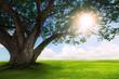 beautiful  land scape of big rain tree plant on green grass fiel