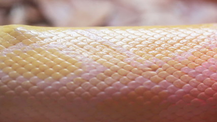 Close up Golden Thai Python (Python bivittatus) snake skin.
