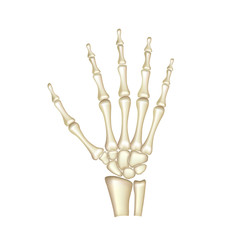 Human hand bones anatomy isolated on white vector