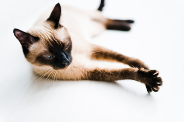 Cat with blue eyes stretching