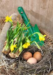 œufs dans panier avec narcisses