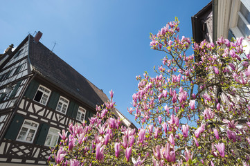 Fachwerkfassade mit Magnolienblüte, Haslach, Schwarzwald, Baden