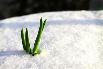 Frühling auf dem Weg durch den Schnee 2