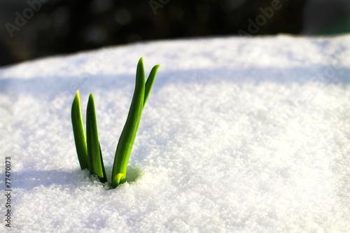 Keuken foto achterwand Krokussen Frühling auf dem Weg durch den Schnee 2
