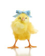 Cute little chicken isolated - 77471428