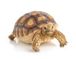 canvas print picture - turtle on white background