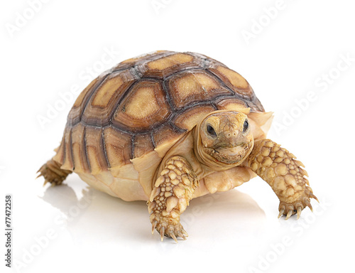 In de dag Schildpad turtle on white background