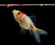 Goldfish eating food - 77473292