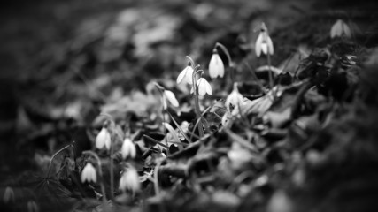 of snowdrops in grascale