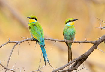Perching pair of swallow tailed bee eaters