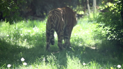 Tiger looking and walking around