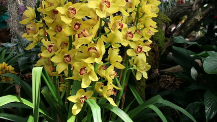 Beautiful multiple yellow orchid's blossom