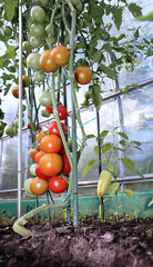 Red and green tomatoes ripening on the bush in a greenhouse of t