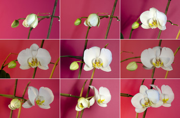 Set of pictures of growing white orchids.
