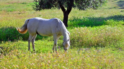 Gray horse is grazed in the field with oats