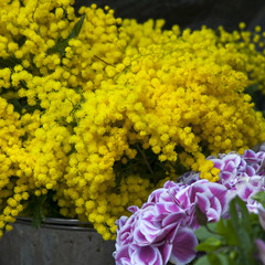 mimosa and hydrangea on the market