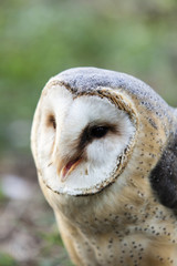 beautiful owl - Tyto alba, barn owl