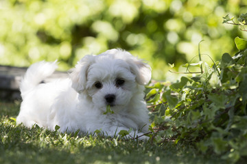 Maltese puppy dog ​​breed loving