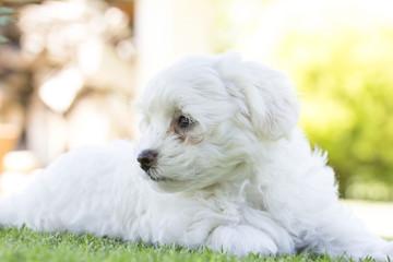 Maltese puppy dog breed loving