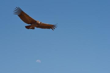 Wild Andean Condor (Condor Vultur gryphus)