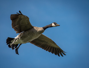 Canada Goose sets its wings for landing