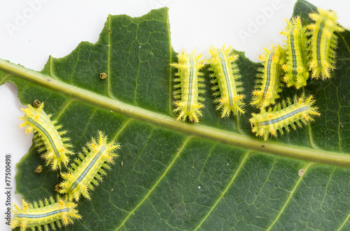 Row of caterpillar eating leaf. Poster
