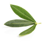 olive leaves with shadow isolated on white
