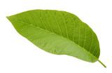 walnut leaf isolated on white