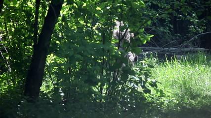 Shot of a tiger walking around