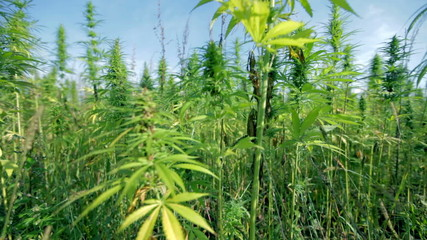 Moving away from cannabis field