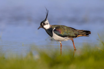 Male European Northern lapwing
