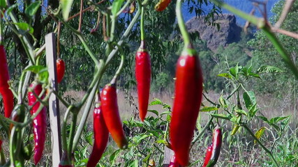 Close up video of red chilli peppers plantation
