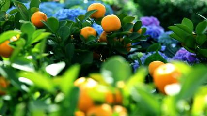 Mandarins growing on tree in a garden
