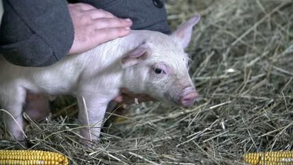 Stroking a little pig
