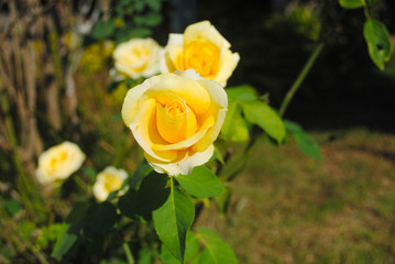 Yellow roses in the garden.