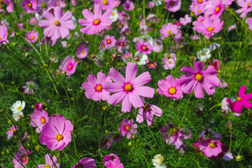 Many pink flowers in the park