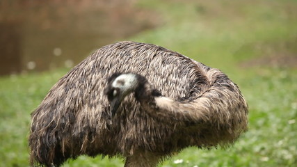Emu in a zoo