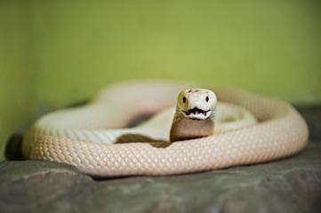 A white cobra is any of several species of snake
