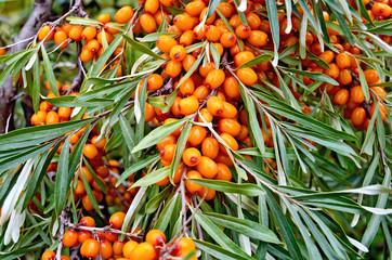 Buckthorn ripe orange on branch