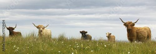 Foto Spatwand Koe Scottish cows in the ground. Skye isle. Scotland. UK