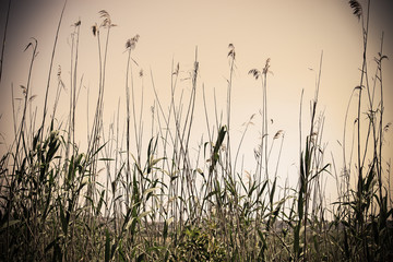 reeds by lake shore in Sardinia