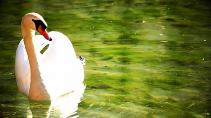 Swan swimming in water with color correction
