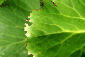 Bergenia leaf eaten by Otiorhynchus