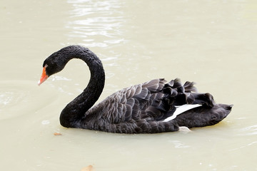 A black swan swimming on a pool of blue water. Cygnus