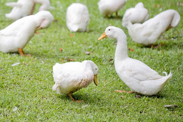 A flock of ducks and geese in a park