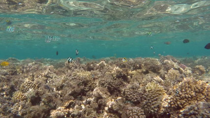 Scissortail Sergeants fish on a coral reef