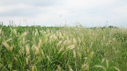 Wheat with a lot of weed around