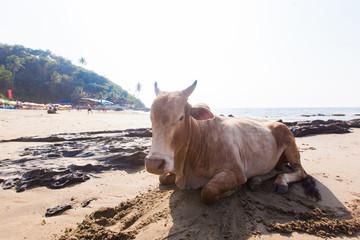 India, a cow on the beach